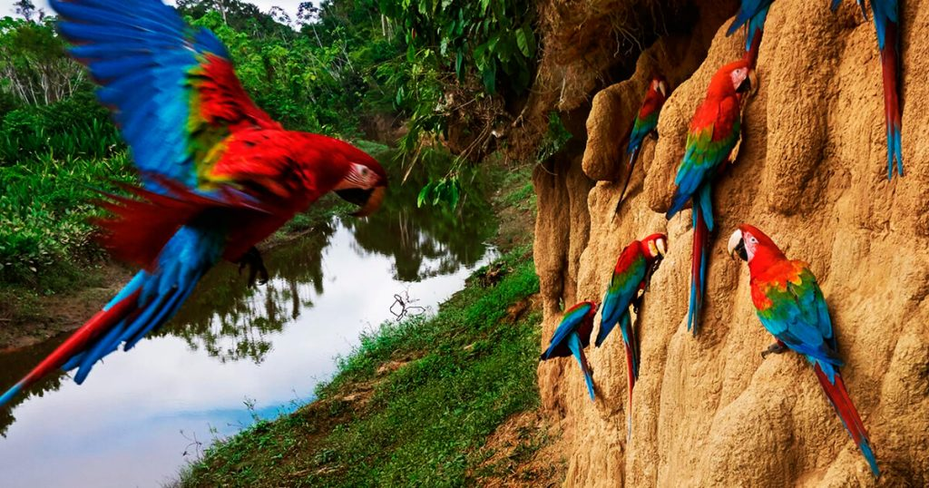 Blanquillo-Macaw-ClayLick-6-Days