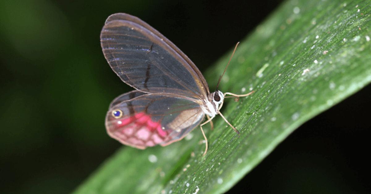 Manu-butterfly