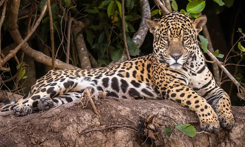 Manu-Biosphere-Reserve-by-Palotoa-Amazon-Travel-Jaguar.jpg
