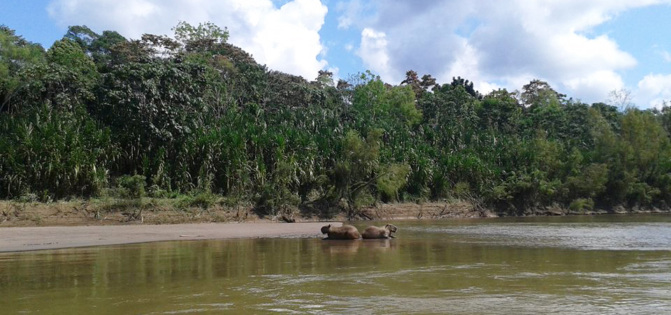 Tambopata-amazon-tour-palotoa-tour-peru-capibara-